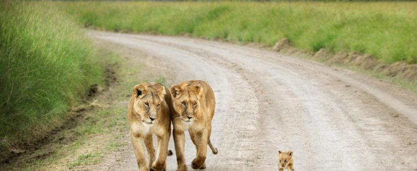 That little lion…