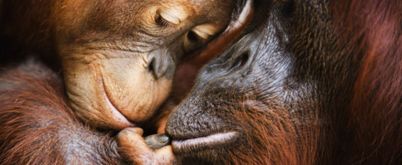 Remembering Great Apes